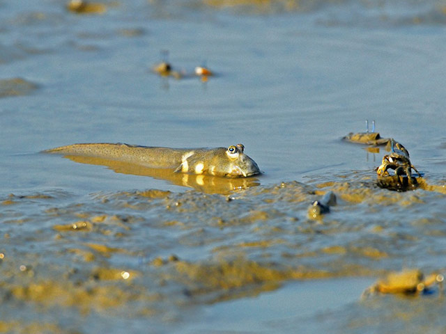 Mudskippers and crabs on the mudflats